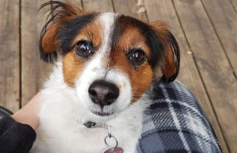 Jack Russell Terrier Papillon mix dog waiting for a treat