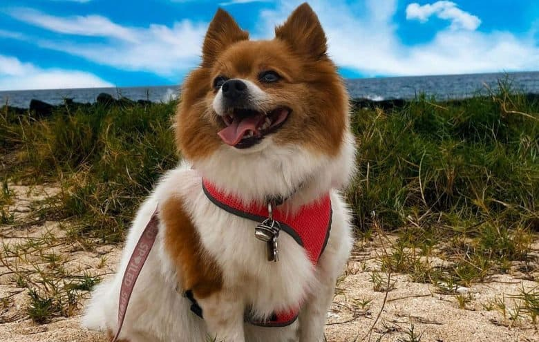 Jack Russell Terrier Pomeranian mix dog sitting on the seaside