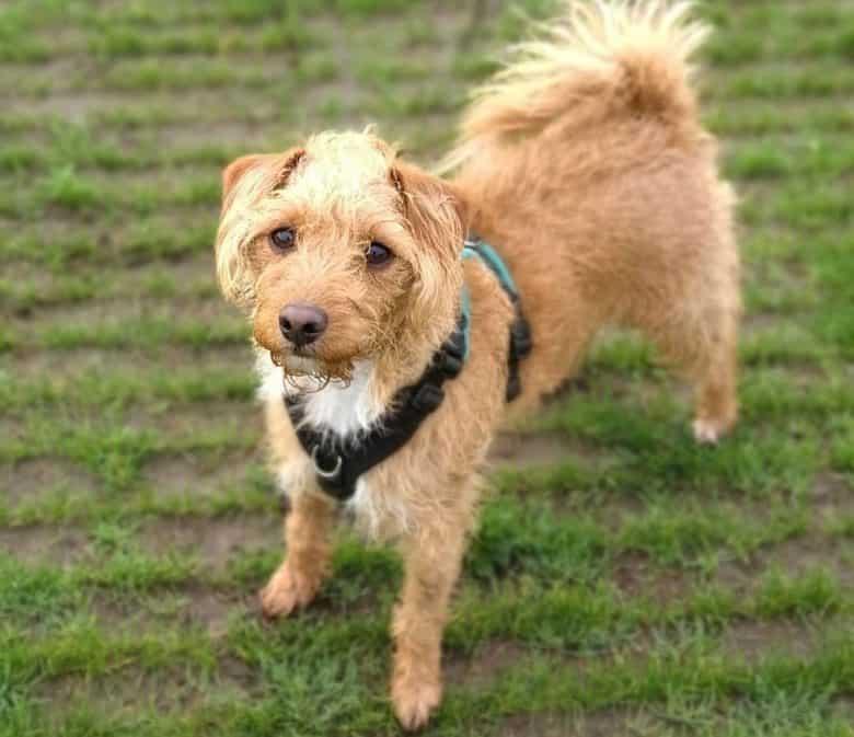 Jack Russell Terrier Poodle mix dog portrait