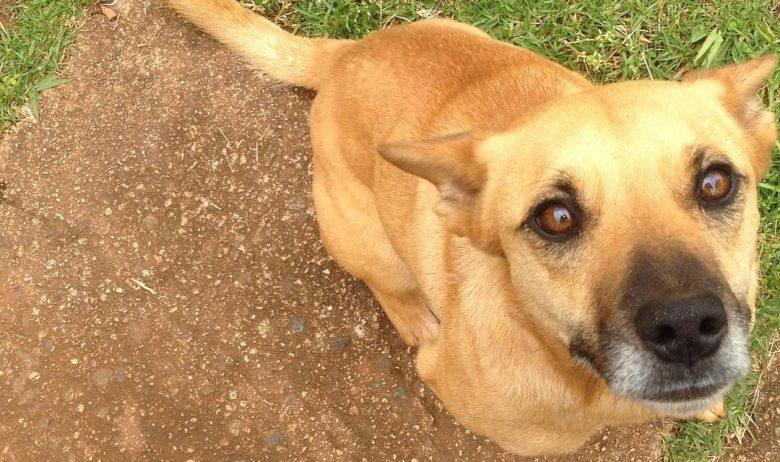 Jack Russell Terrier Rottweiler mix dog portrait