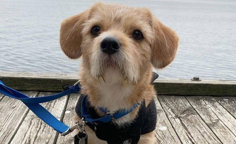 Jack Russell Terrier Shih Tzu mix dog on a bay walk