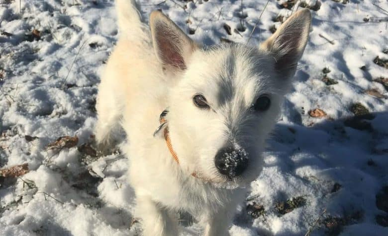 Jack Russell Terrier West Highland White Terrier mix dog walking on the snow