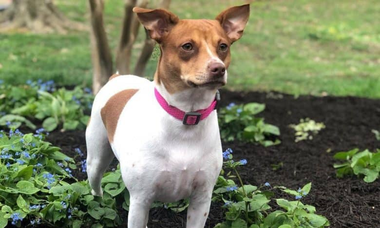 Jack Russell Toy Fox Terrier mix dog standing on the flower garden