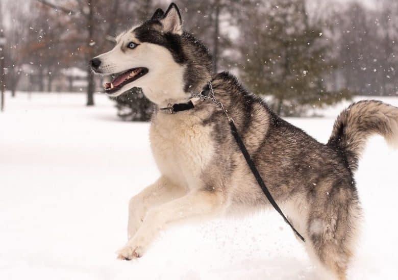 A leaping Husky enjoying the snow