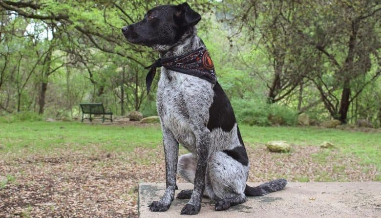 Labrador Blue Heeler mix dog sitting on the concrete bench at the park