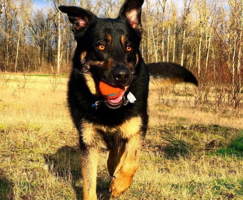 Labrador Retriever German Shepherd mix dog playing a ball