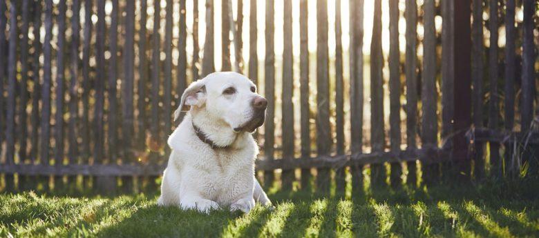 Labrador Retriever lying on the grass near the wooden fence