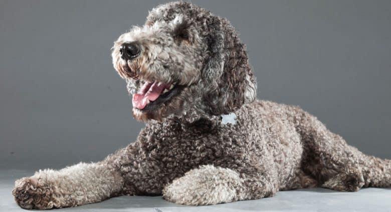 Labrador Retriever Poodle mix dog