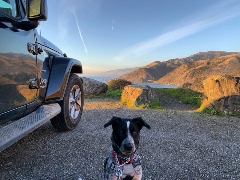 A Labraheeler to hike with his pet owner