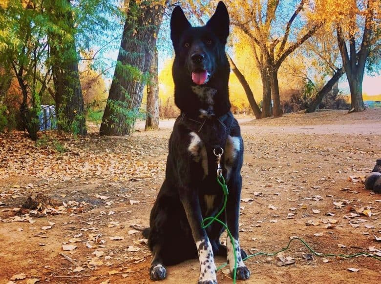 A black and white Dalusky sitting in a forest