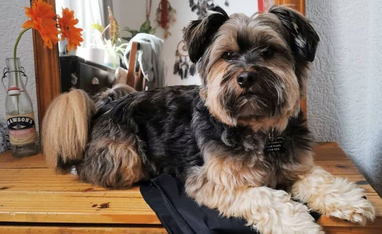 Lhasa Apso and Yorkshire Terrier mix dog portrait