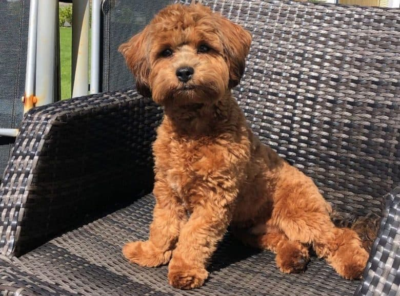 Lhasa Apso Poodle mix dog sitting in an outdoor chair