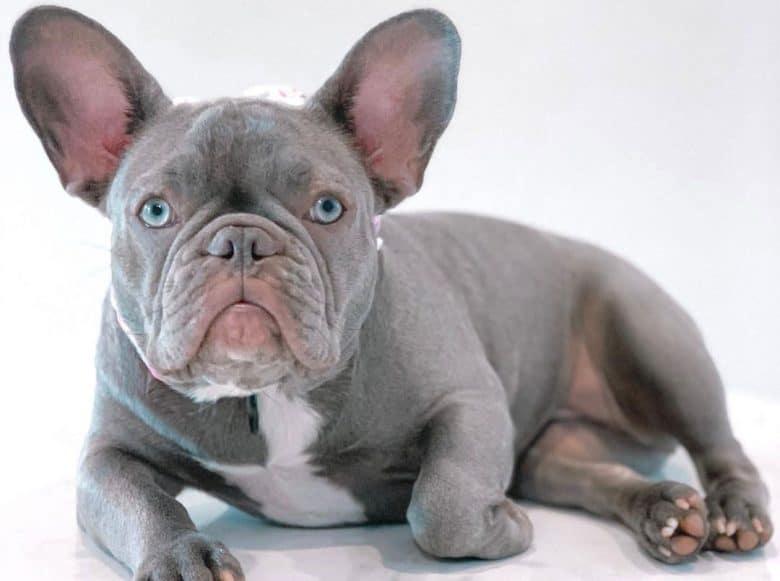 Lilac French Bulldog portrait