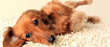 a long-haired Dachshund laying on a carpet