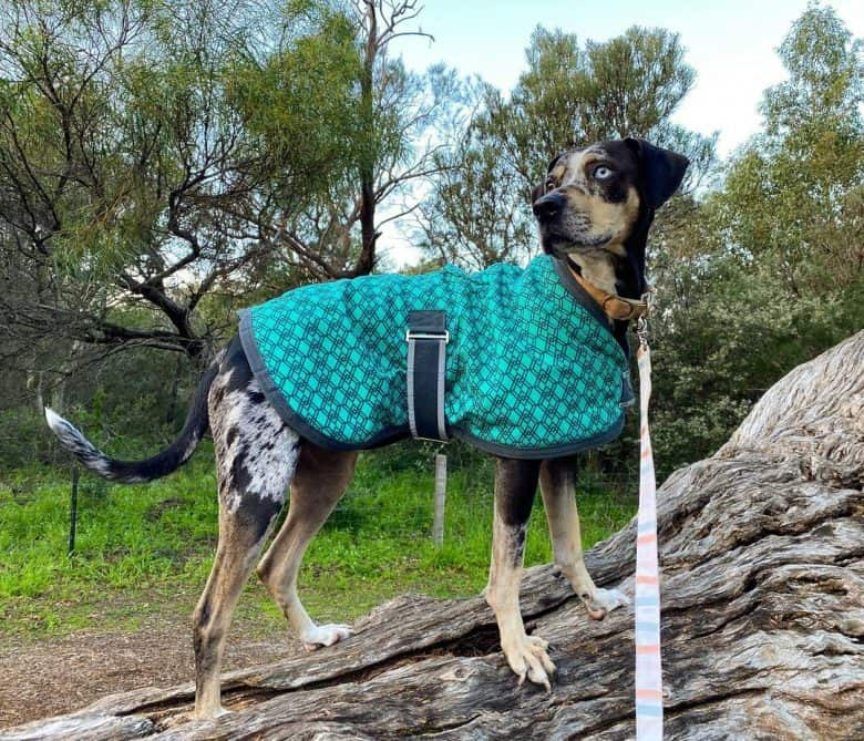 Louisiana Catahoula Cur standing on a tree trunk while wearing a blue coat