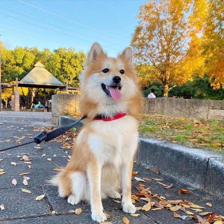 A fluffy Pom-Shi outdoors