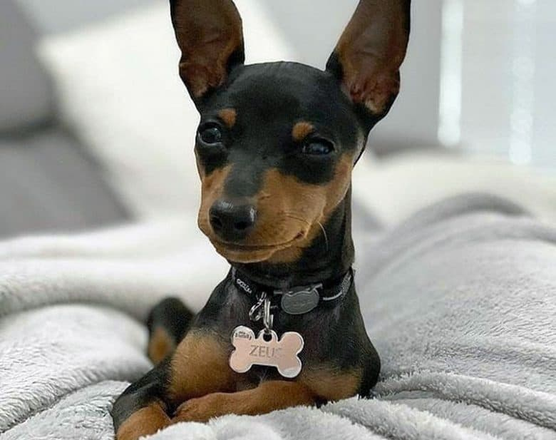 Lovely Mini Pinscher lying on the bed