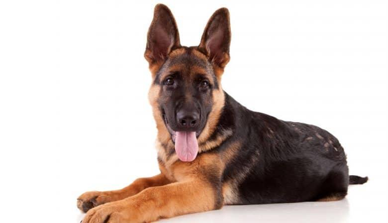 Lying portrait of German Shepherd dog