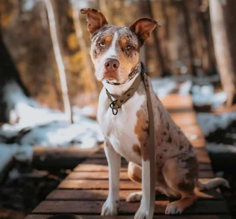 A Catahoula Pit sitting on a wooden bridge
