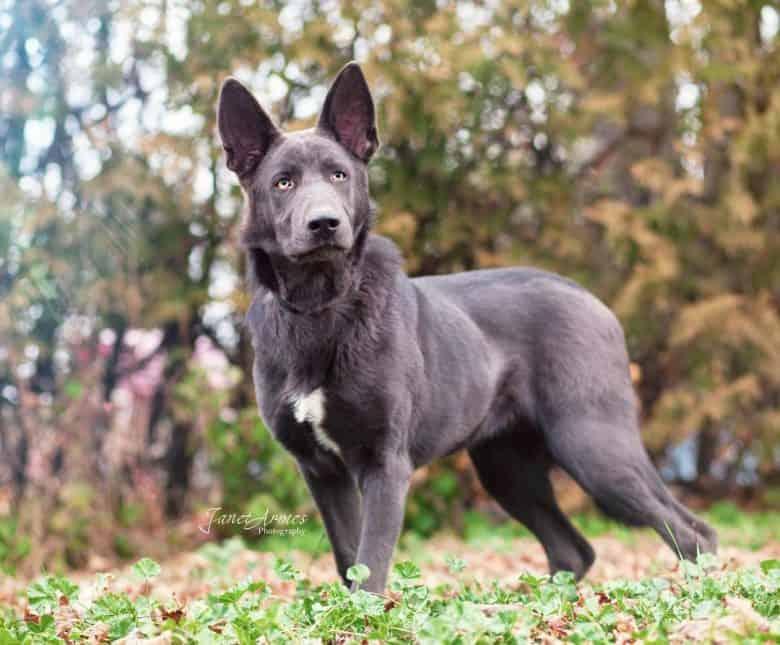 A Liver German Shepherd standing