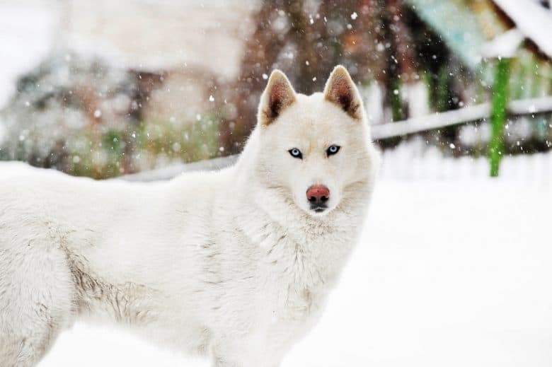 A serious White Siberian Husky outdoors