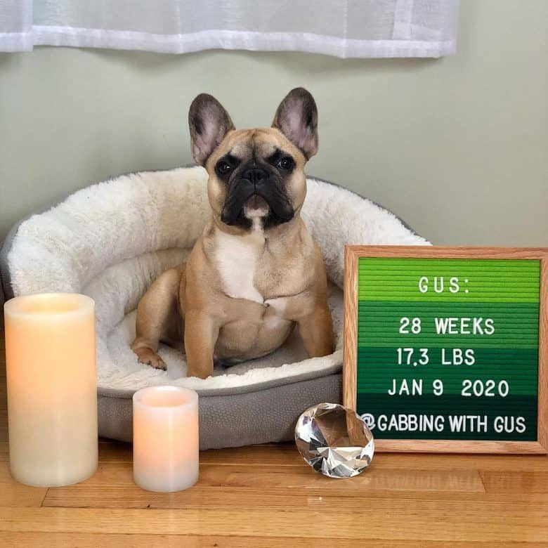 a male Frenchie dog sitting on a dog bed