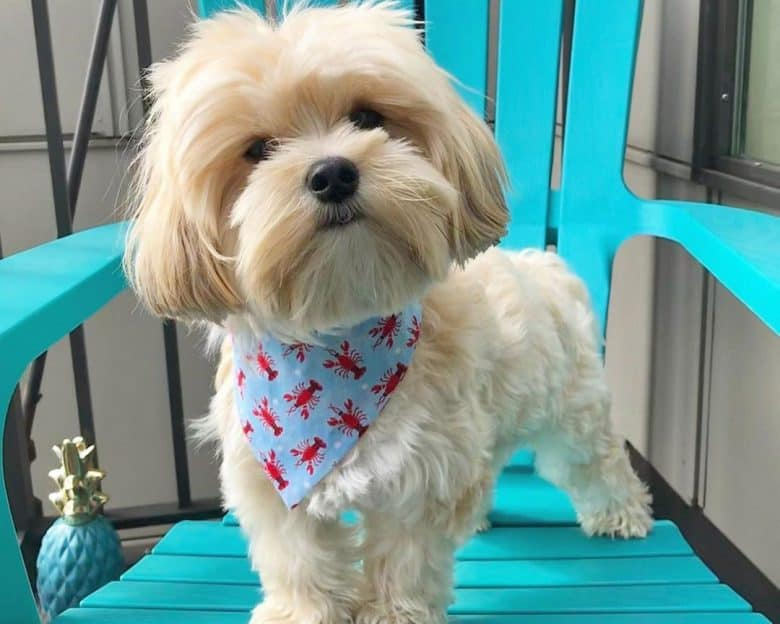 Maltese and Yorkshire Terrier mix dog standing on a chair