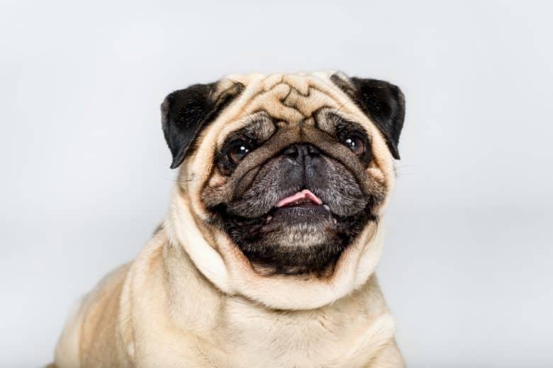 A portrait of a Pug smiling
