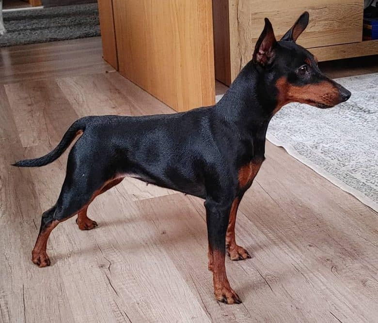 A Min Pin standing on a wooden floor