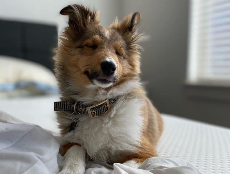A Mini Collie puppy with close eyes and laying on a soft bed
