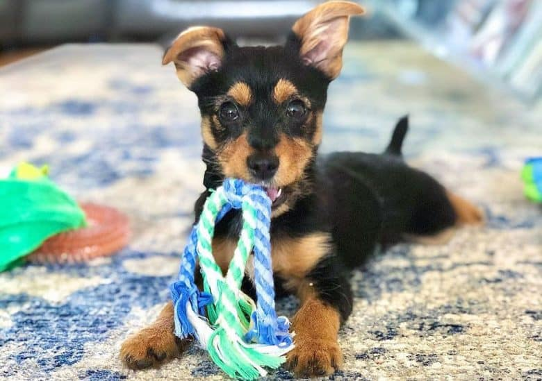 Miniature Australian Shepherd and Yorkie mix dog playing a toy rope