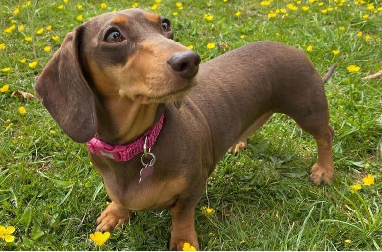 A brown Mini Doxie looking up