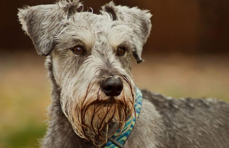 Serious Miniature Schnauzer dog posing outdoor