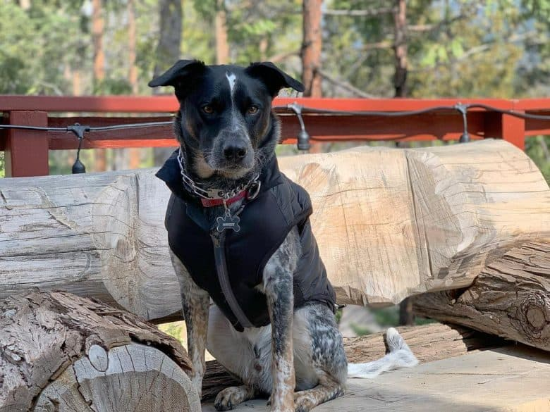 A Blue Heeler Lab mix dog modeling in the forest
