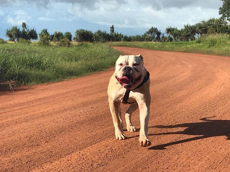 A strong American Bulldog running on a field
