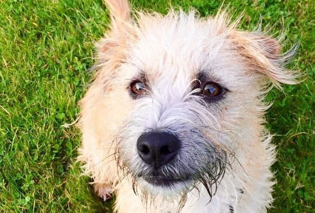 Norfolk Terrier Jack Russell mix dog sitting on the field