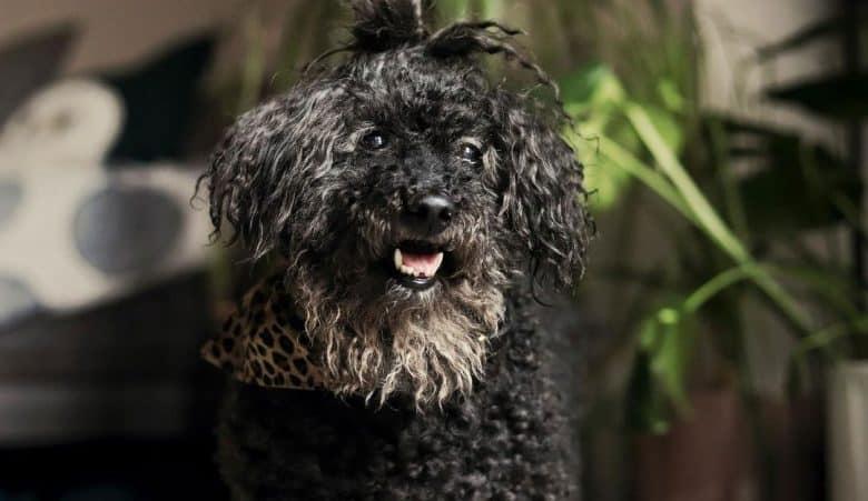 Old black Poodle dog portrait