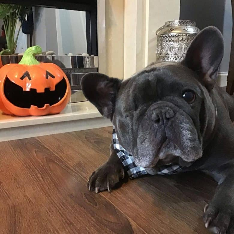 A one-eyed Blue Frenchie looking adorable