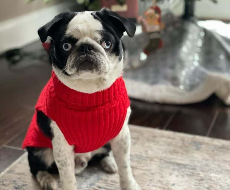 Panda Pug on a red sweater sitting on a rug