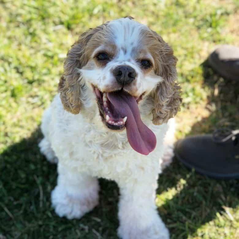 Panting Cocker Spaniel dog portrait