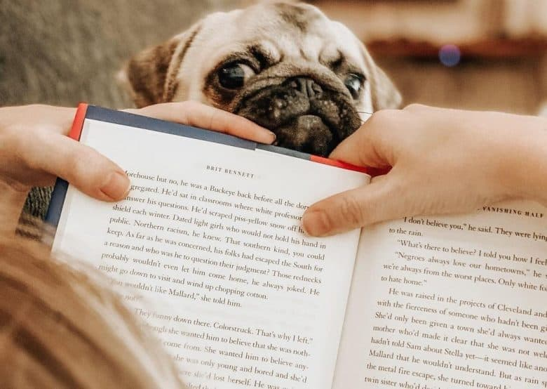 A peeping Pug under a book