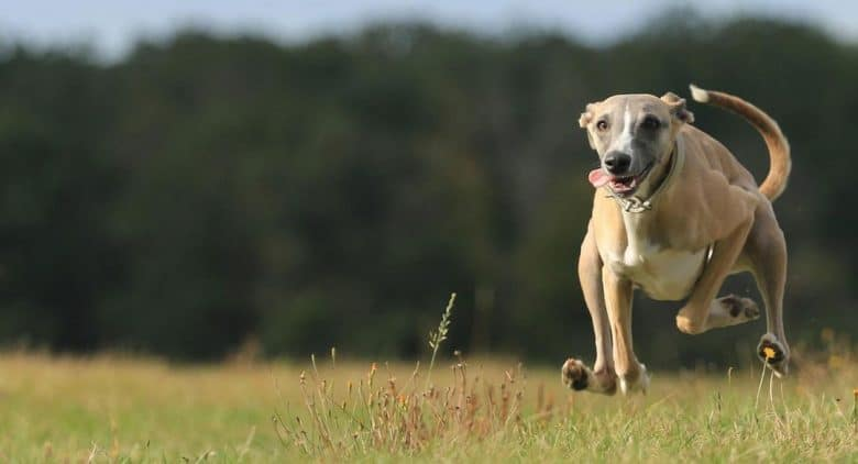 Perfect portrait of Sighthound dog running fast in a lure coursing competition