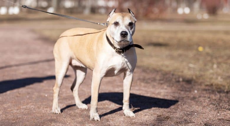 Pitbull dog pulling its leash under the sun