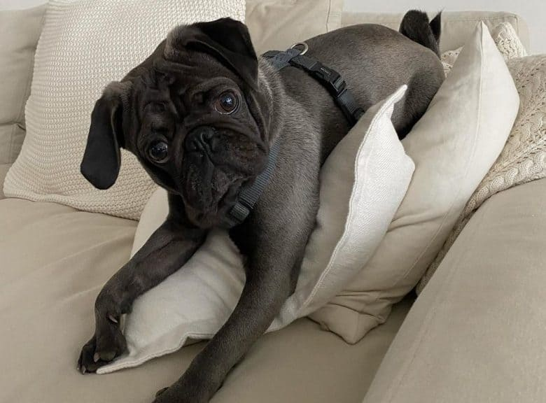 A precious platinum Pug laying on pillows on a couch