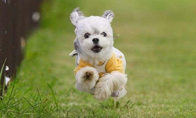 Playful Maltese Chihuahua mix dog
