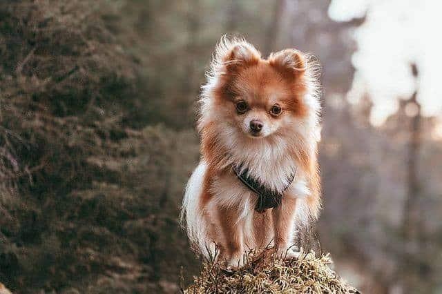 An enchanting Pom-Chi standing on a rock