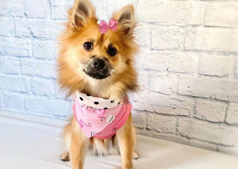 Pomeranian German Shepherd mix dog wearing pink outfit