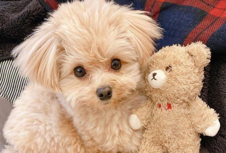 Pomeranian Poodle mix dog lying with the teddy bear