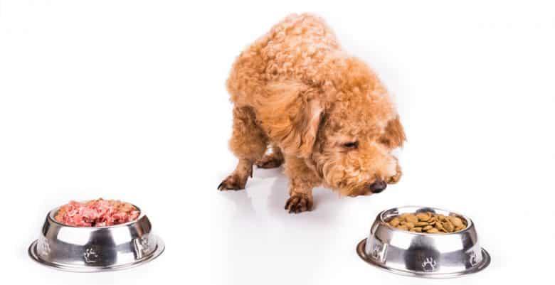 Poodle choosing between raw meat or kibble dog food