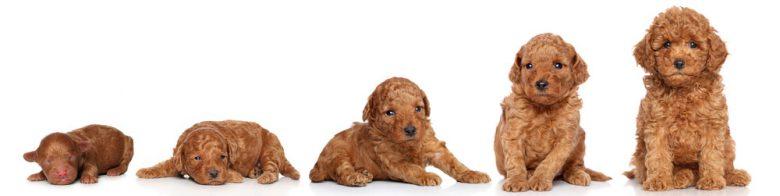 Poodle dog growing up portrait